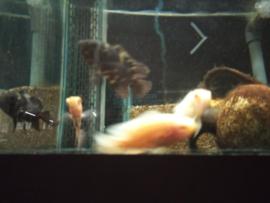 Astronautus ocellatus oscar - pauwoogcichlide albino