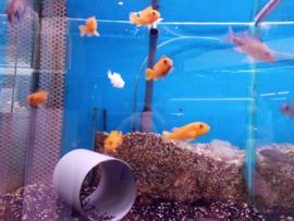 Labidochromis hongi  red - malawicichlide