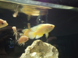 Astronotus ocellatus oscar lemon - pauwoogcichlide geel/lemon