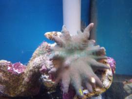 Echidna nebulosa - Snowflake murene