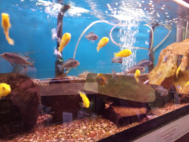 Labidochromis sp. yellow - malawi cichlide