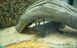 Ambystoma mexicanum - axolotl groen