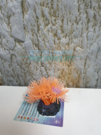 koraal oranje zwarte voet