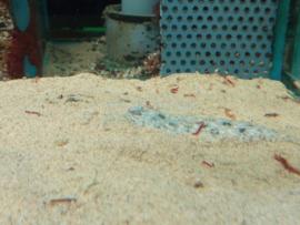 Brachirus panoides - zoetwaterscholletje/ zoetwatertong