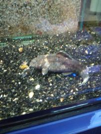 Pseudopimelodus ranius ranius - meerval