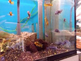 Melanochromis maingano - malawi cichlide