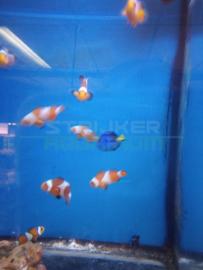 Amphiprion ocellaris - 'Nemo' clownvis/anemoonvis