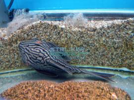 L190 Panaque sp nigrolineatus xl - Golden-line pleco