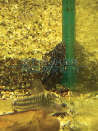 Pseudacanthicus sp. L097 - Polka Dot Cactus Pleco