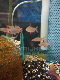 Distichodus sp. Black & Red lefini river - Watermelon hoogrugzalm zwart/ rood