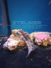 Salarias fasciatus - 'Henkie' gestreepte rotsspringer