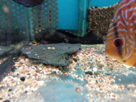 L091 Leporacanthicus triactis - drie gebakende pleco