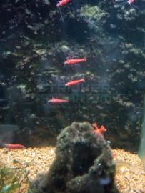 Caridina heteropoda - fire red garnaal