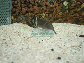 Gnathonemus petersii - Olifantsvis