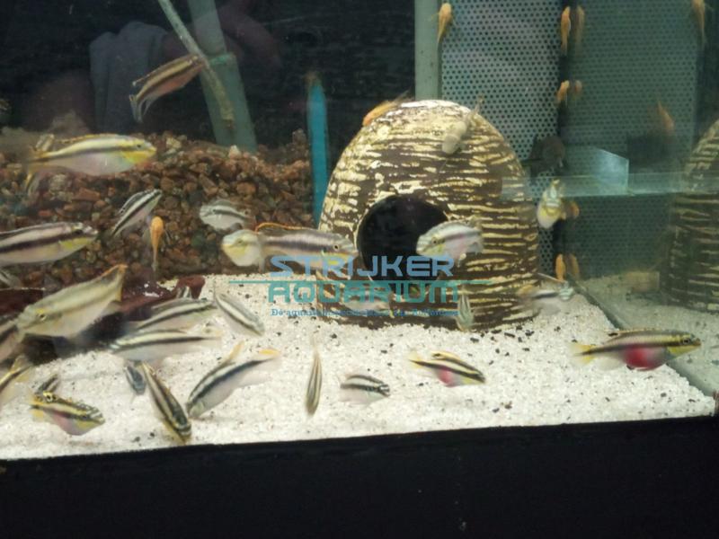 Pelvicachromis pulcher - Kersenbuik cichlide