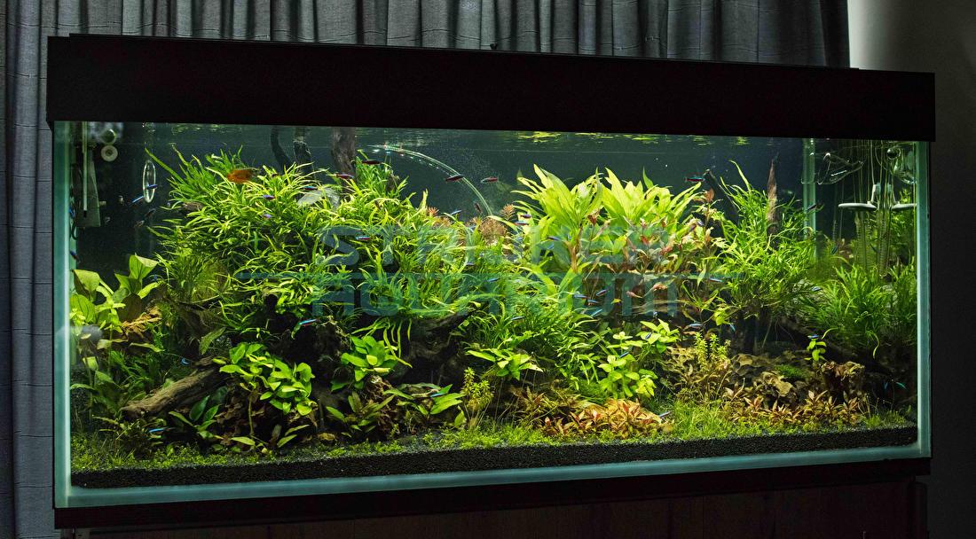 Hoe groeien aquariumplanten