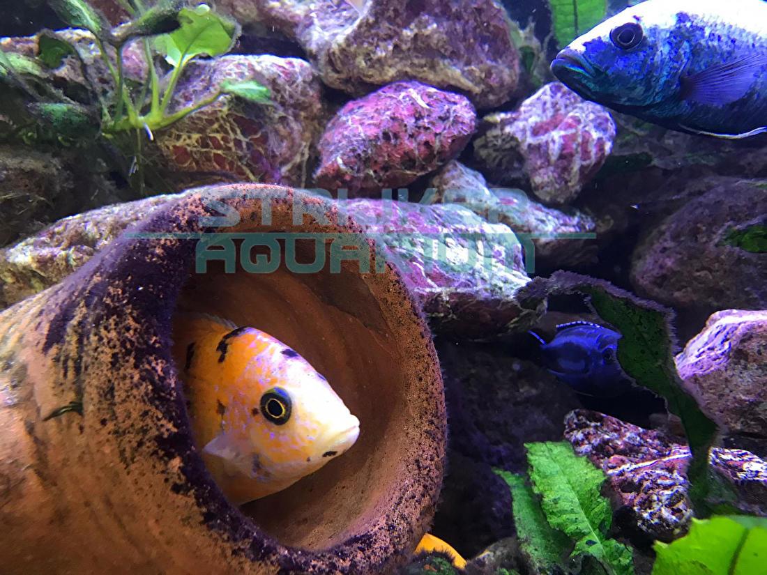 Cichlide aquarium kopen