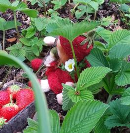 Breipatroon Aardbeienmutsje en bladtasje.