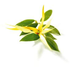 Etherische Ylang Ylang Olie