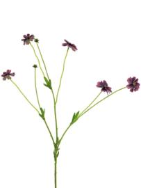 centaurea madelon paars