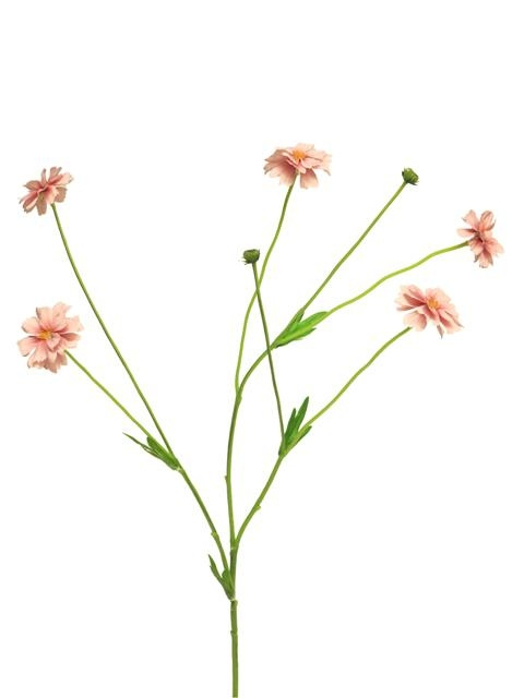 centaurea madelon