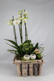 Phaleanopsis in houten bakje