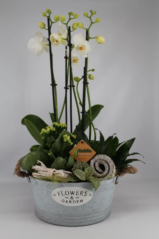 Phaleanopsis in zinken bakje