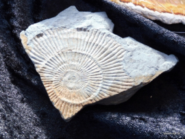 Ammoniet fossiel