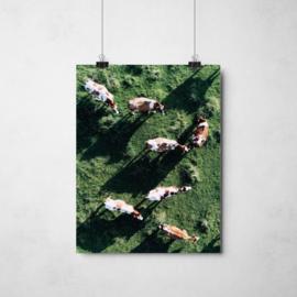 Cows | A4
