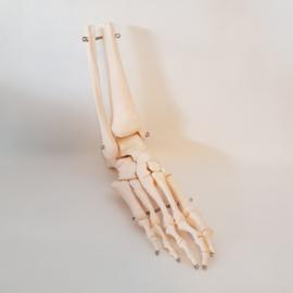 Anatomisch model van de voet
