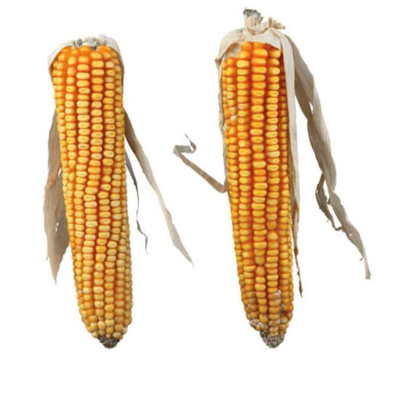 PURE NATURE maïs kolven