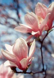 Geurolie Magnolia in een druppelflesje van 10 ml