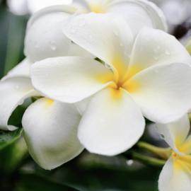 Geurolie Gardenia Monoi in een druppelflesje van 10 ml