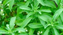 Stevia, Suikerplantje of Honingkruid (Stevia rebaudiana)