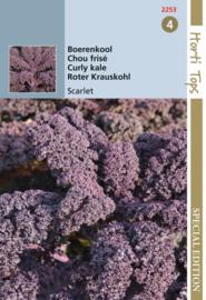 Boerenkool Scarlet, paars (HT)