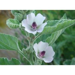 HEEMST, ECHTE (Althaea officinalis)