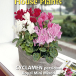 Buzzy® House Plants Cyclamen, Alpenviool Royal Mini Mix