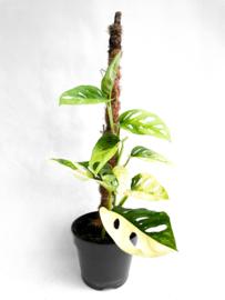 Monstera Adansonii Variegated (2 leaves)
