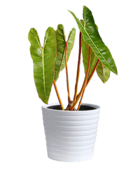 Philodendron Billietiae Large