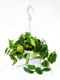 Philodendron Brazil 19cm hangpot