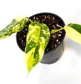 Philodendron Domesticum Variegata