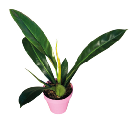 Philodendron Ruizii