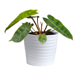 Philodendron Billietiae Large IMPORT AKTIE