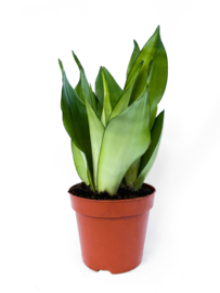 Sanseveria Moonlight 21cm