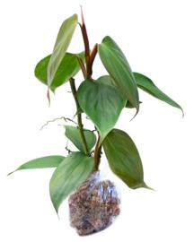 Philodendron Werneri Rotonda