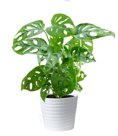 Monstera Monkey Leaf Plant