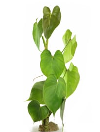 Philodendron cf. Malesevichiae