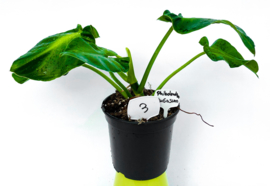 Philodendron Rugosum #3