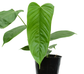 Philodendron Tenue Type