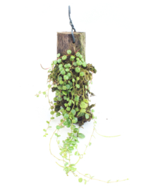 Peperomia Prostrata op hout